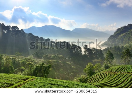 Beautiful landscape and fresh strawberry farm in winter at Chiangmai Thailand