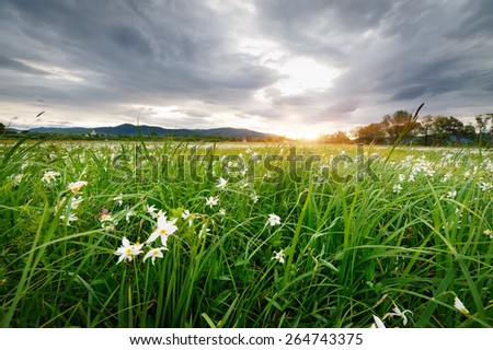 Beautiful landscape. Field flower meadow at sunset. field Narciso - stock photo