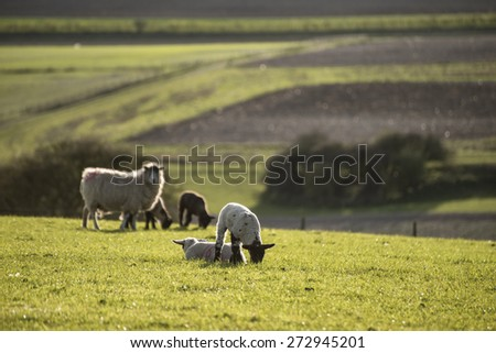 Beautiful landscape image of Spring lambs and sheep in fields during late evening light