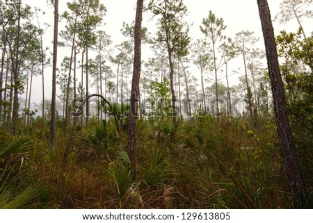 Beautiful landscape in the early morning fog with Saw palmetto (Serenoa repens) Slash pine (Pinus elliottii) and in the Florida Everglades National Park. - stock photo
