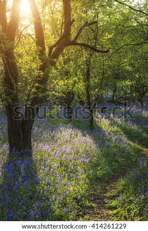 Beautiful landscape of bluebell forest in Spring in English countryside - stock photo