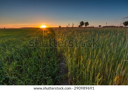 Beautiful landscape of green rye field at sunset. Agricultural countryside. - stock photo