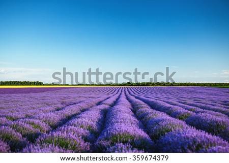 Beautiful landscape of lavender fields  - stock photo