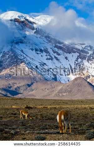 Beautiful landscape of vicugnas in Chimborazo volcano in the Andes, the highest mountain of Ecuador - stock photo