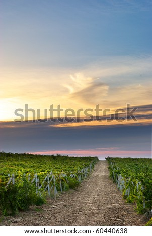 Beautiful landscape of vineyard. Nature composition. - stock photo