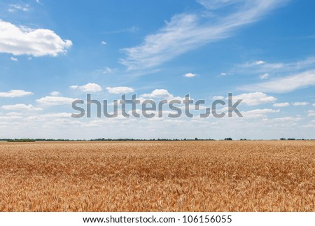 Beautiful landscape with a field of ripe wheat and blue sky