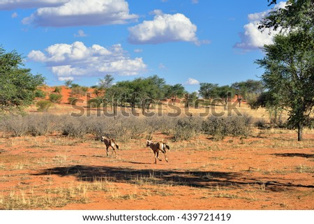 Beautiful landscape with acacia trees, bush and running antelopes in the Kalahari desert at evening light, Namibia, Africa - stock photo