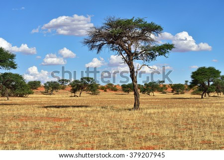 Beautiful landscape with big acacia tree in the Kalahari desert at evening light, Namibia, Africa - stock photo