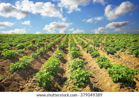 Beautiful landscape with field of potatos and cloudy blue sky.