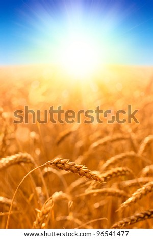 Beautiful landscape with field of ripe wheat and blue summer sky in bright sun lights - stock photo