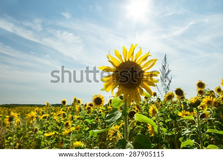 Beautiful landscape with sunflower - stock photo