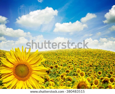 Beautiful landscape with sunflower field cloudy blue sky - stock photo