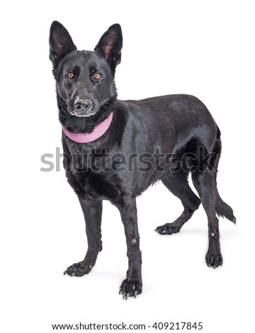 Beautiful large black German Shepherd mixed breed dog standing over white looking forward into camera - stock photo