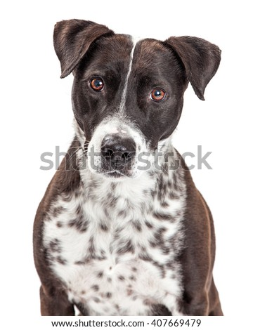 Beautiful large crossbreed dog with white and black spotted fur looking forward into camera