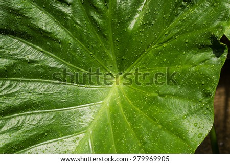 Beautiful large green leaves soaking up the sun on a hot tropical day - stock photo