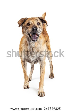 Beautiful large Labrador and Chow mixed breed dog with brindle markings on his coat standing with a happy expression. Image taken isolated on a white studio background. - stock photo