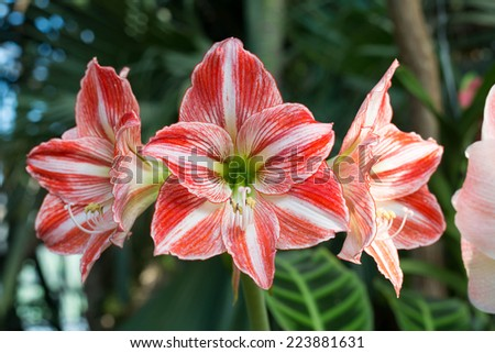 Beautiful large lily flowers in a nature - stock photo