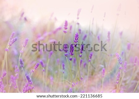 Beautiful lavender - stock photo