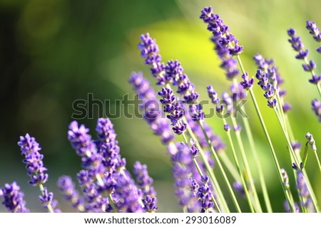 beautiful lavender background in nature - stock photo