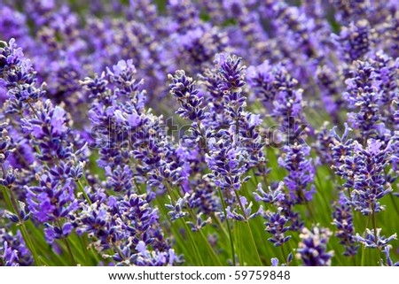 Beautiful lavender field in the summer - stock photo