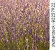 Beautiful lavender field in the summer by sunset - stock photo