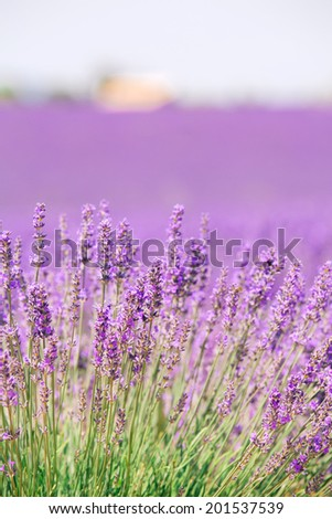 Beautiful lavender flower close up with bokeh and blur, natural, pastel colors. - stock photo