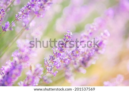Beautiful lavender flower close up with bokeh and blur, natural, pastel colors. In back light. - stock photo