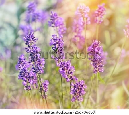 Beautiful lavender flowers - stock photo