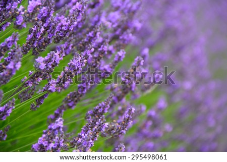 Beautiful Lavender Flowers shrub in garden close up view