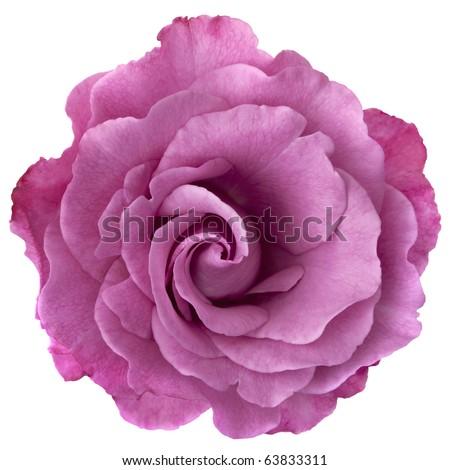 Beautiful lavender-hued rose, isolated on white. - stock photo