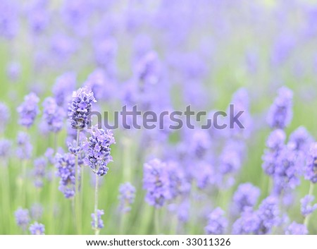 Beautiful lavender in a summer meadow - stock photo