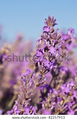 Beautiful lavender in detail in the summer - stock photo