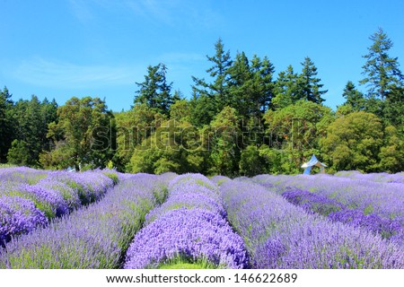Beautiful lavender plants with an evergreen forest in the background, Washington, USA. - stock photo