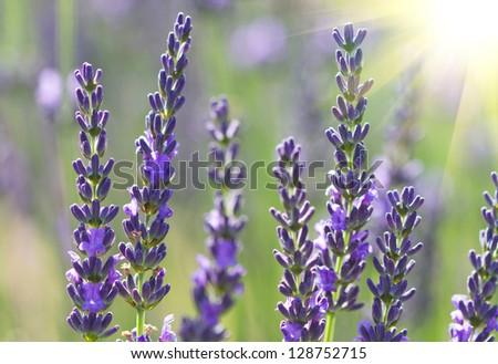 beautiful lavenders flowers in a field - stock photo