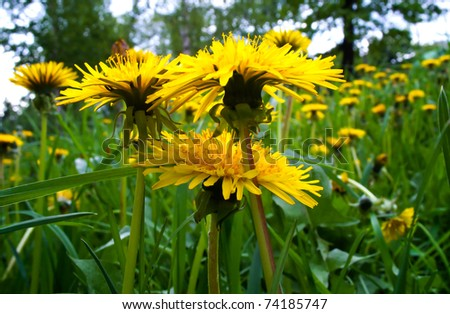 Beautiful  lawn of dandelions . - stock photo