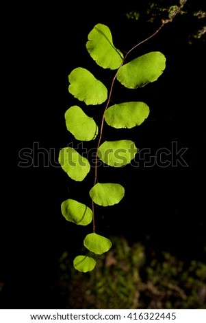 Beautiful leaf of fern natural fern background with back light in black bacground style. - stock photo