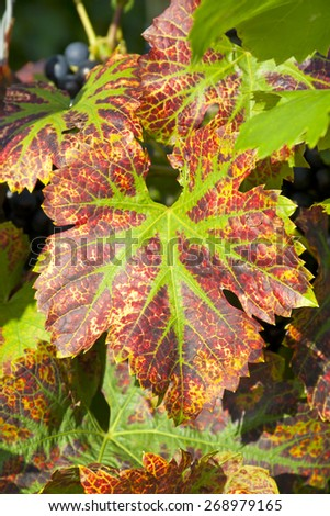 Beautiful leafs of grapevine in Autumn. - stock photo