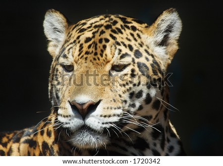 beautiful leopard - stock photo