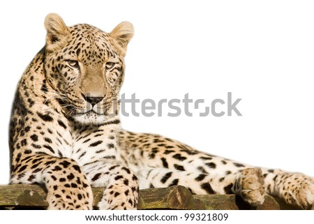 Beautiful leopard cub closeup - isolated on white background - stock photo