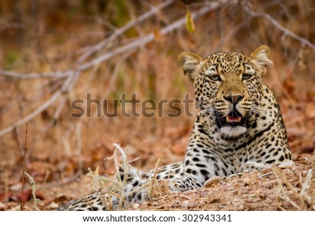 Beautiful Leopard in the South Luanwga National Park in Zambia, Africa - stock photo