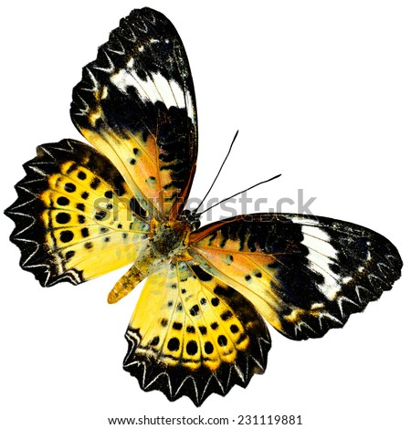 Beautiful Leopard Lacewing Butterfly (female) upper wing profile in natural color isolated on white background - stock photo