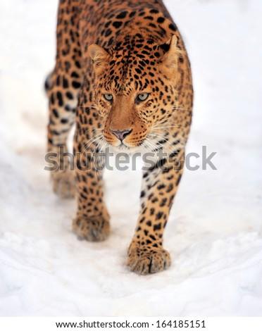 Beautiful leopard on snow - stock photo
