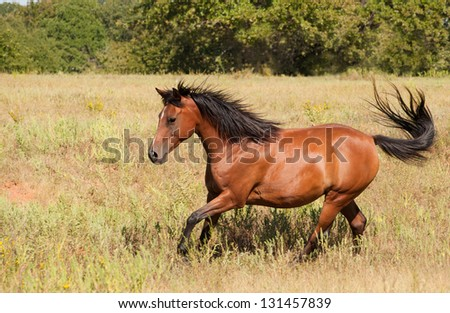 Beautiful light bay Arabian cantering across an autumn field