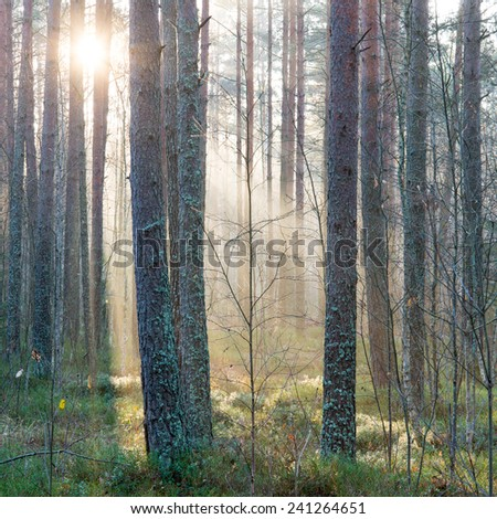 beautiful light beams in forest through trees in misty morning - square image - stock photo