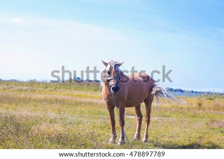 Beautiful light brown horse with a white mane stands on a meadow near blue lake. Palomino horse on field
