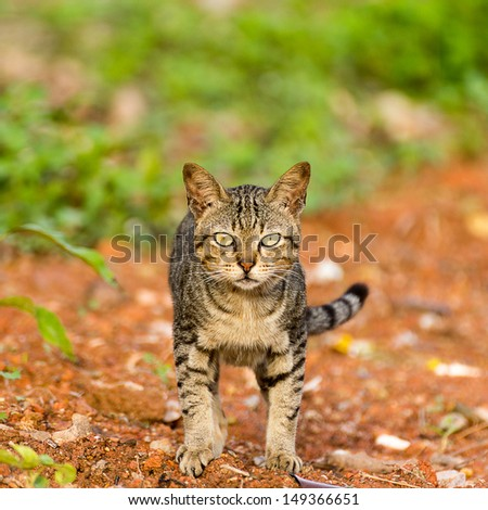 beautiful light brown tabby cat