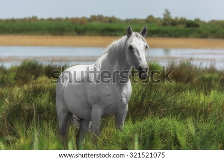 Beautiful light gray or white stallion at the lagoon of Camargue reserve, Bouches-du-rhone region, south France