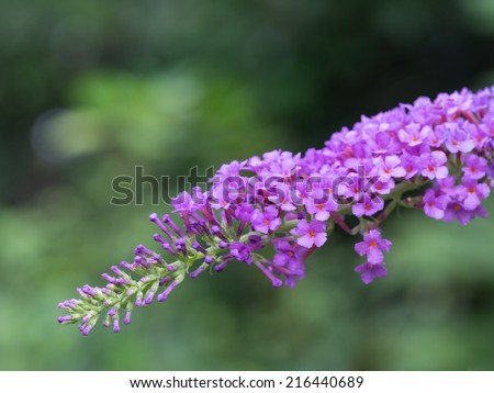 Beautiful light purple Buddleja japonica in forest of the early fall - stock photo
