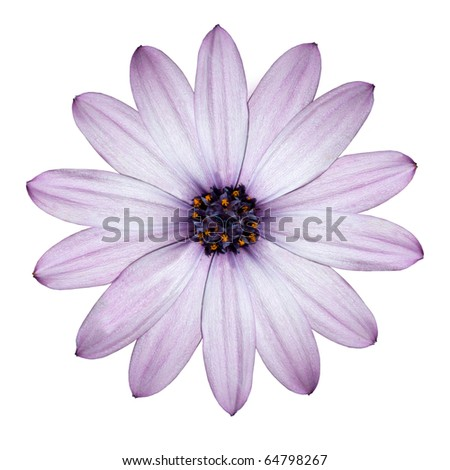 Beautiful Light Purple Daisy - Blossoming Osteospermum - Flower Head top view isolated on white background - stock photo