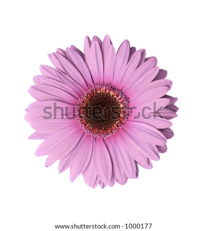 Beautiful light purple Gerbera flower isolated with clipping path